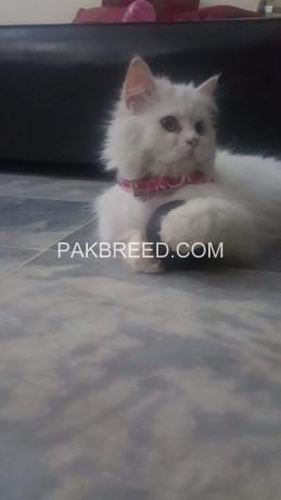 persian-cat-big-4