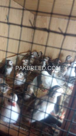 breeder-chakor-and-chiks-for-sale-big-2