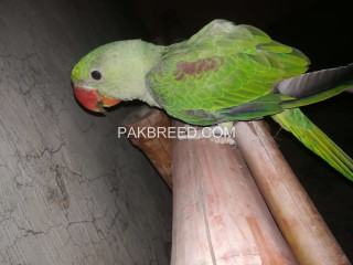 Raw Hand Tamed Green Parrot