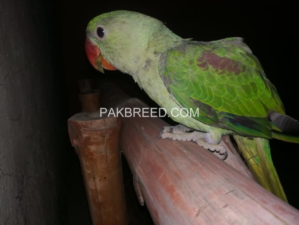 raw-hand-tamed-green-parrot-big-1