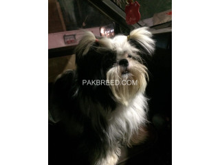 Shihtzu for Sale