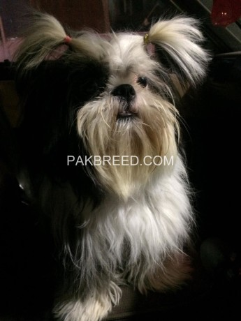 shihtzu-for-sale-big-2