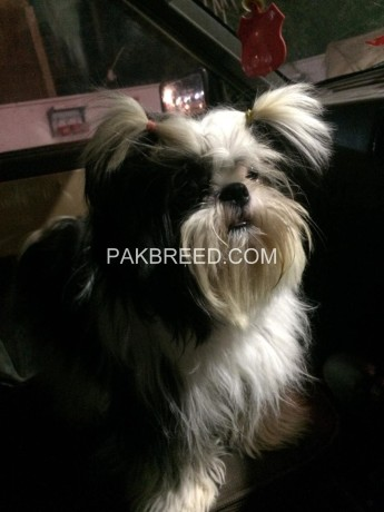 shihtzu-for-sale-big-0