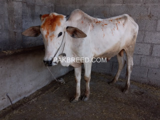 White male bull for sale