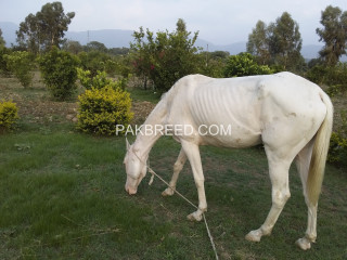 A white female horses for sale in haripur