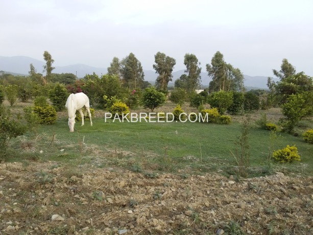 a-white-female-horses-for-sale-in-haripur-big-1