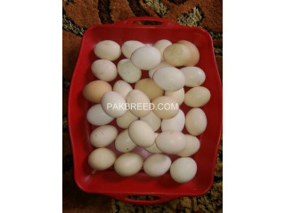 Fertile aseel eggs