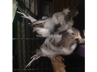Black Frill Dutch Canary Breeder Pair