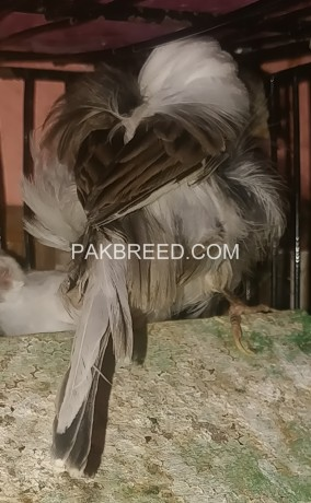 black-frill-dutch-canary-breeder-pair-big-3