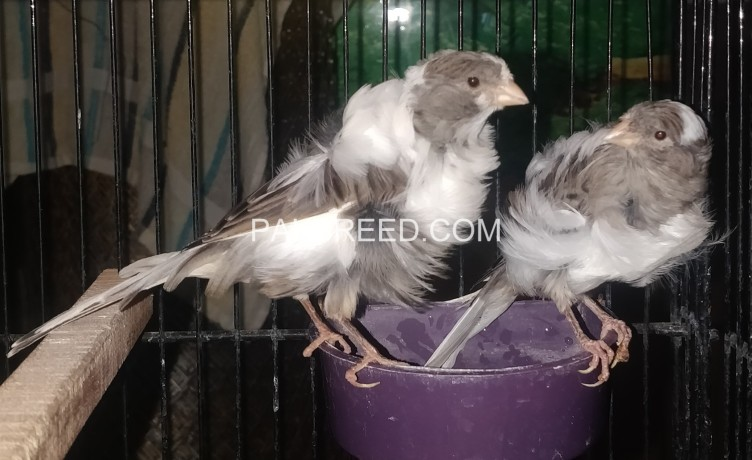 black-frill-dutch-canary-breeder-pair-big-1