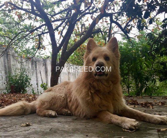 german-shepherd-long-hair-big-0