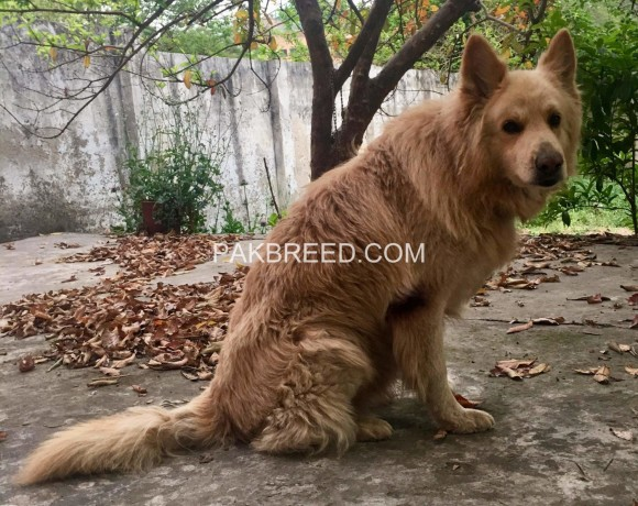 german-shepherd-long-hair-big-1