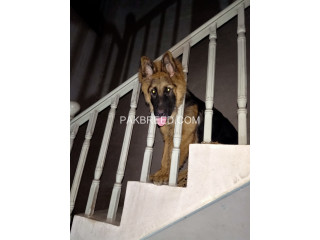 German Shepherd Long Coated Male