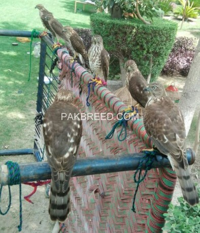 female-falcon-and-shikra-for-sale-big-2