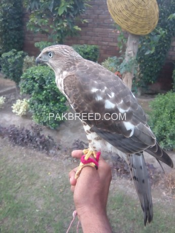 female-falcon-and-shikra-for-sale-big-1