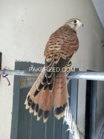 female-falcon-and-shikra-for-sale-big-3