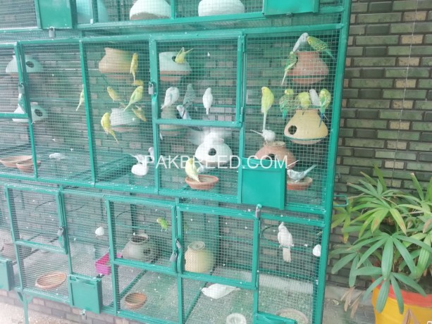 budgies-for-sale-big-2