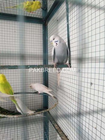 budgies-for-sale-big-0