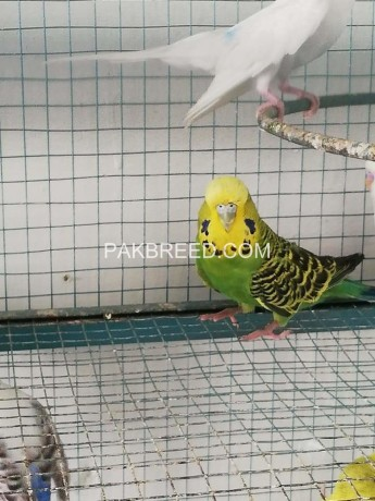 budgies-for-sale-big-1