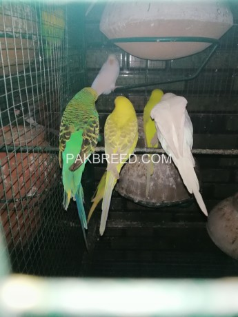 budgies-for-sale-big-3