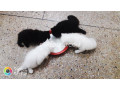 persian-kitten-triple-coated-small-4