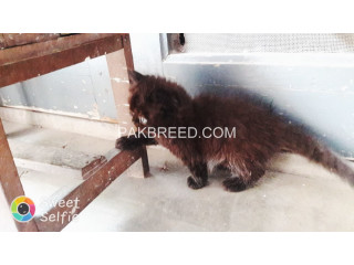 Persian kitten Triple coated
