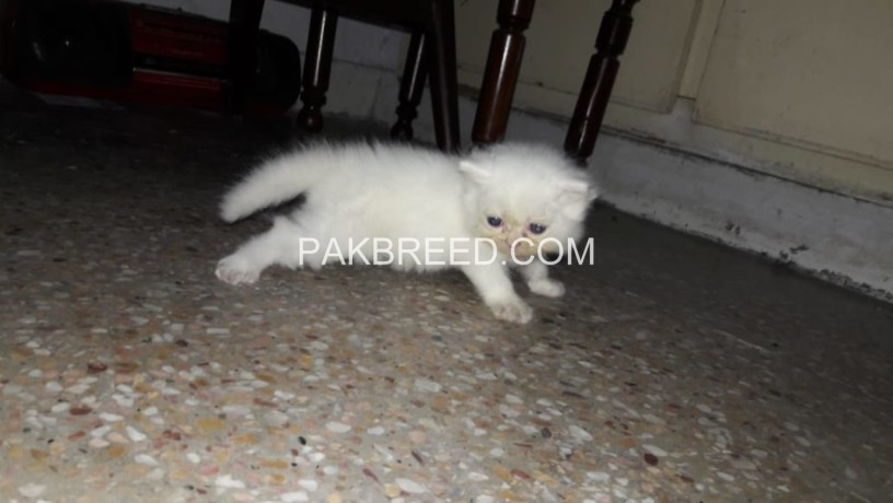 persian-kitten-triple-coated-big-1