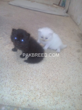 persian-kitten-triple-coated-big-3
