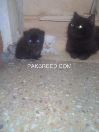 persian-kitten-triple-coated-big-2