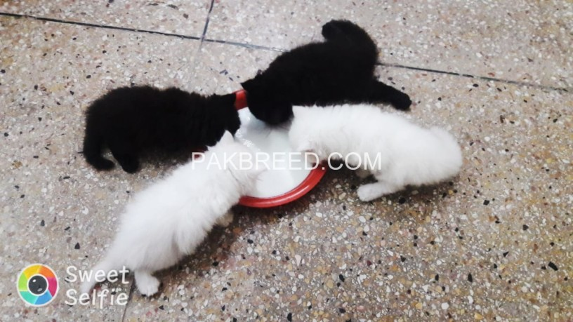 persian-kitten-triple-coated-big-4