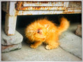 persian-male-kitten-small-1