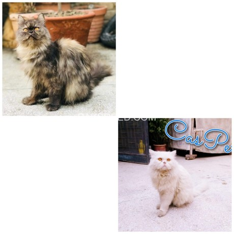 persian-male-kitten-big-3