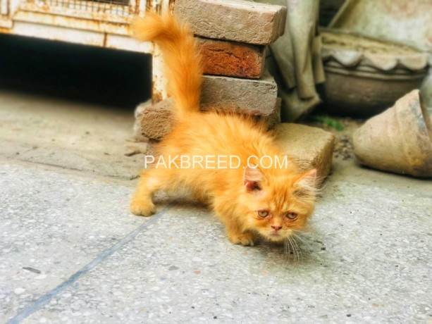 persian-male-kitten-big-0