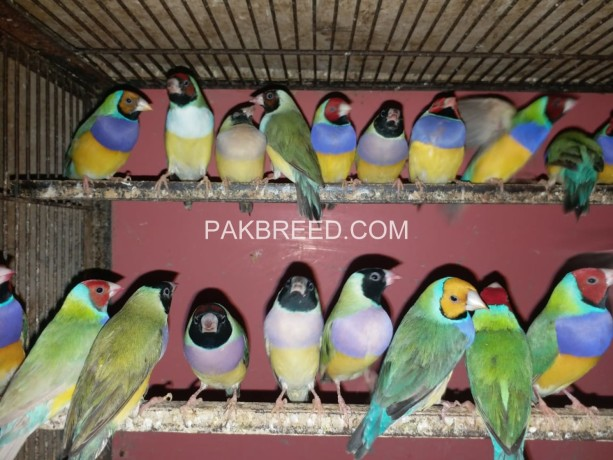 gouldian-finches-big-0