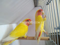 green-ring-neck-breeder-pair-available-for-sale-small-2