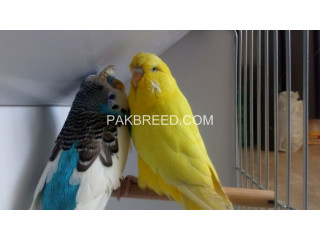 Green Ring neck Breeder Pair Available for Sale