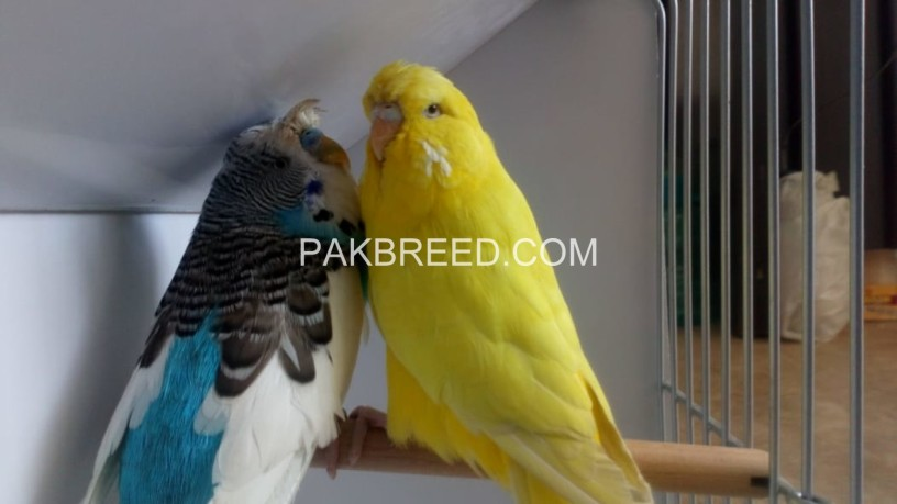 green-ring-neck-breeder-pair-available-for-sale-big-0