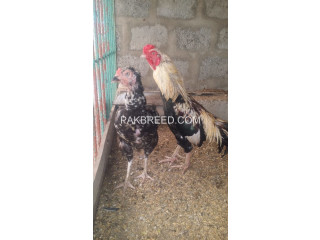 Aseel breeder egg laying pair available for sale