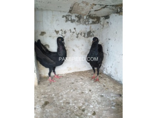 Malteese black pair