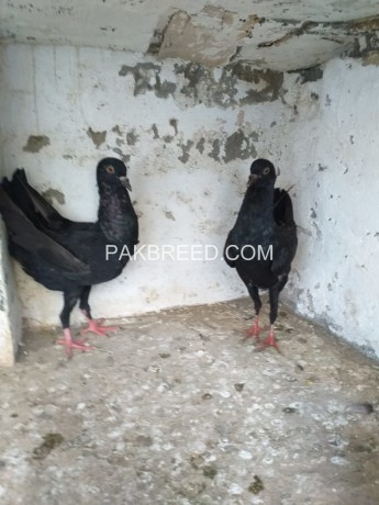 malteese-black-pair-big-0