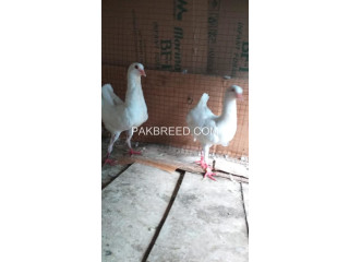Malteese white breeder pair