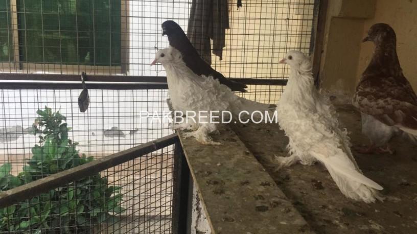 white-frillback-breeder-pair-big-1