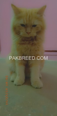 persian-male-cat-big-3