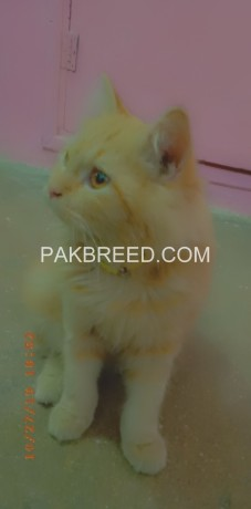 persian-male-cat-big-1