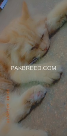 persian-male-cat-big-4