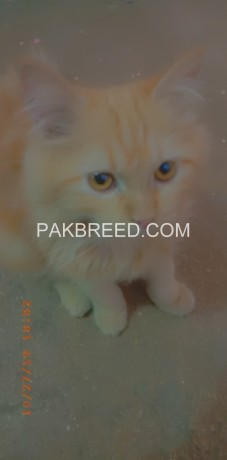 persian-male-cat-big-0