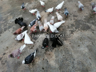 Qasad racer pigeons for sale