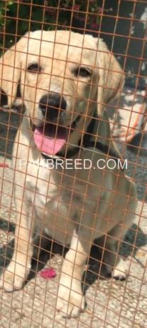labrador-female-puppy-big-0