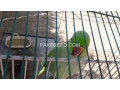 raw-parrot-hand-tame-small-0