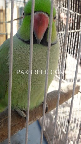 raw-parrot-hand-tame-big-1